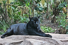 IMG_0910 (jaybluejeans94) Tags: nature zoo chester chesterzoo cat cats jaguar panther animal animals bigcat