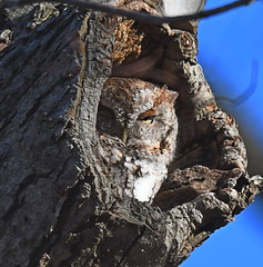 Screech Owl (KoolPix) Tags: screechowl owl raptor birdofprey tree treetrunk holeintree bird beak feathers koolpix jaykoolpix naturephotography nature wildlife wildlifephotos naturephotos naturephotographer animalphotographer wcswebsite nationalgeographic fantasticnature amazingnature wonderfulbirdphotos animal amazingwildlifephotos fantasticnaturephotos incrediblenature naturephotographywildlifephotography wildlifephotographer mothernature