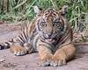 D.C. (ToddLahman) Tags: dc sumatrantiger cub sandiegozoosafaripark safaripark canon7dmkii canon canon100400 closeup escondido eyelock exhibita tiger tigers tigertrail tigercub mammal male portrait photooftheday beautiful e