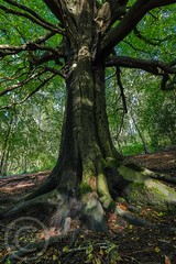 Honley Wood Trees Aug 2017 (5) (Mark Schofield @ JB Schofield) Tags: trees woodland forest wood honley huddersfield meltham root branch leafy ancient summer