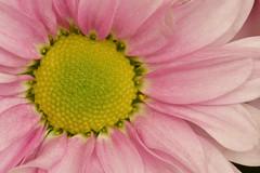 When we seek... (Steven H Scott) Tags: flower macro close up petals organic plant nature