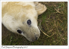 Big Baby Seal Eyes (Paul Simpson Photography) Tags: paulsimpsonphotography lincolnshire donnanook nature naturalworld seal babyseal seals greyseal grayseal baby sonya77 lincolnshirewildlifetrust bigeyes december2017 eastlindsey whitefur imagesof imageof photoof photosof beauty winter