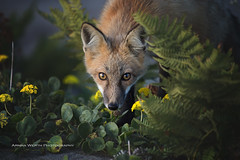 Summer foxes (ArmanWerthPhotography) Tags: armanwerthphotography fox redfox sanjuanisland wild wildlife