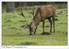 Red Deer Eating (Paul Simpson Photography) Tags: paulsimpsonphotography december2017 nature deer reddeer mammal mammals naturalworld sonya77 normanbypark deerpark lincolnshire scunthorpe antlers eating feedingtime countrypark countryside britain england imagesof imageof photoof photosof naturephotography