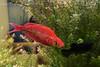 Bild 272/365 (PiaLiz) Tags: röd fisk akvarium