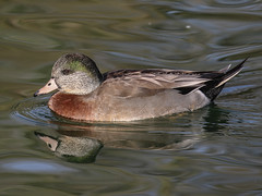 Hybrid Duck (bruce_aird) Tags: