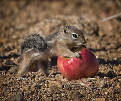 All Mine… (cindyslater) Tags: goldenvalleyaz mohavegroundsquirrel arizona apple cindyslater alvinthechipmunk animal
