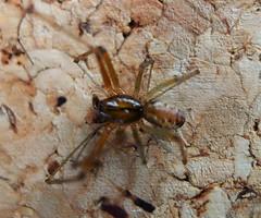 Linphya triangularis male Linyphiidae (gailhampshire) Tags: linphya triangularis male linyphiidae taxonomy:binomial=linphyatriangularis