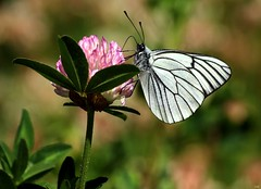 Aporia crataegi (Ramunė Vakarė) Tags: aporiacrataegi pieridae blackveinedwhite butterfly lepidoptera clover nature macro lithuania eičiai ramunėvakarė