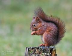 Red (mikedenton19) Tags: red squirrel redsquirrel sciurus vulgaris sciurusvulgaris rodent mammal uk british wildlife nature yorkshire dales national park yorkshiredalesnationalpark wensleydale hawes