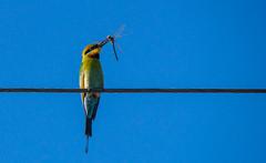 Rainbow bee-eater with dragonfly (AWLancaster) Tags: birding photowalk sony sigma rainbowbeeeater beeeater dragonfly eating birdeating shepparton wetlands swamp reedyswamp