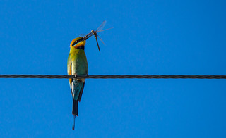 Rainbow bee-eater with dragonfly