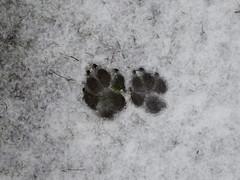 It Snowed in London - of a sort.... (Gilder Kate) Tags: wimbledoncommon wimbledon pawprint snow london workingcockerspaniel spaniel cocker prints paws paw panasoniclumixdmctz70 panasoniclumix panasonic lumix dmctz70 tz70