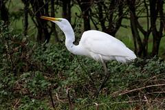 Great White Egret, Dalton (JR Studio) Tags: greatwhiteegret egret ardeaalba dalton northyorkshire yorkshire rare bird heron