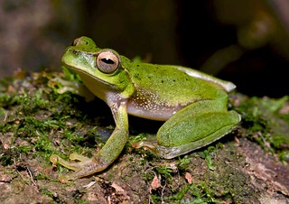 Barrington Tops Tree Frog (Litoria barringtonensis)_8009
