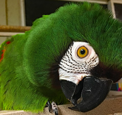 What IS That Thing in Your Hand?! (BKHagar *Kim*) Tags: bkhagar parrot brooks macaw severemacaw green bird beak eye inquisitive curious feather feathers