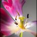 Tulip Stamen. . .