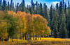 The Midas Touch (Pejasar) Tags: earlytouchofautumnupnorth autumn midastouch golden light color montana bighornnationalforest