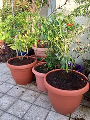 Chili Pots (Assaf Shtilman) Tags: chili chilli pepper plants pots