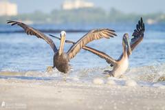 Brown Pelicans (Birds Of Amsterdam) Tags: brown pelican pelikaan bird pelecanus occidentalis ocean beach fort meyers wildlife