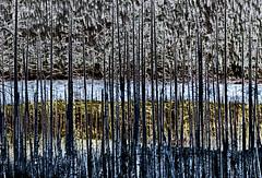 burned trees in Olympic National Park (marianna_a.) Tags: pa030039 olympicnationalpark washington usa mtrenier trees burned colour solarized texture detail landscape mariannaarmata hss