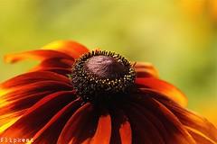 Livin' On Summertime (flipkeat) Tags: flowers flora closeup rudbeckia awesome nature outdoors flower mississauga