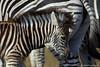 Burchell's Zebra (leendert3) Tags: leonmolenaar nature wildlife krugernationalpark southafrica burchellszebra mammal ngc coth5 specanimal specanimalphotooftheday sunrays5 npc