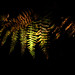 Fern / Feto (Francisco (PortoPortugal)) Tags: 2582017 20171109fpbo7202 feto fern outono autumn natureza nature light shadow pbg parquebiológicodegaia porto portugal portografiaassociaçãofotográficadoporto franciscooliveira