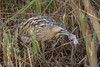Bittern with Water Vole! (NikonNigel) Tags: copyright©nigelcox copyrights