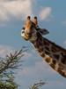 PB112766 (Kaba264) Tags: namibia awsome summer olympus mft mzuiko holiday etosha africa giraffe