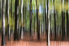 31 trees! (karindebruin) Tags: autumn herfst dutch nederland fallcolors holland trees bomen peerdsbos belgie outoffocus 31 movement beweging