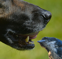 Tooth Inspection (Scott 97006) Tags: canine teeth mount dog tongue bokeh snout sheperd bluejay bird inspect
