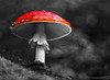 mushroom (red splash repost) (zdm69) Tags: 7dwf mushroom fliegenpilz bnwcolorsplash nature olympus omd em1 zdm69
