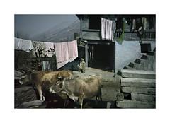 The farmer.    ( Kullu valley ) 1993 (José Luis Cosme Giral) Tags: thefarmer travel man cows farm portrait nikon fe kodachrome64 scanned kulluvalley india 1993