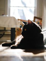 ollie sun of (kc_tinari) Tags: cat cats kitty kitties feline sunbathing pets home personal
