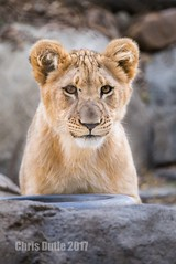 Meeting with the Boss (montusurf) Tags: lion lioness bahati dallas zoo texas feline cat predator baby young cub portait face