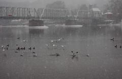 Gulls vs Geese (pilechko) Tags: birds gulls geese ducks delawareriver river water bridge lambertville newhope nj pa winter snow cold foggy