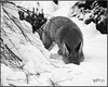 Dog Fox... Hunting For Voles. . (Picture post.) Tags: fox winter nature green snow trees monochrome