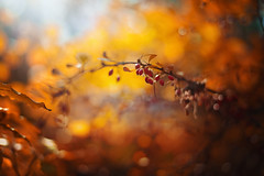 Autumn (Pásztor András) Tags: nature bush red berry leaf autumn colors mood peaceful ligts sun sunrise bokeh bubble sky leafs trees forest yellow 50mm f18 wide aperture dof dslr nikon d700 hungary andras pasztor photography 2017