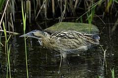 _DSC6019 - Bittern (steve R J) Tags: bittern fishers green lee valley waltham abbey essex birds wader british