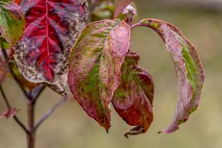 My dogwood tree leaves