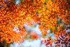 November (moaan) Tags: kobe hyogo japan jp momiji maple mapleleaves japanesemaple autumn autumncolors autumnleaves fall fallcolors dof bokeh bokehphotography nature naturephotography leica mp leicamp type240 noctilux 50mm f10 leicanoctilux50mmf10