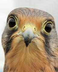 """Googling Kestrel"" (seanwalsh4) Tags: googlingkestrel hawk macro closeup funnylookingbird kestrel seanwalsh makemesmile happy laugh humour fun wowwhatlovelybigeyesyouhave hovering commonkestrel falcotinnunclus 7dwf wednesdaysmacroorcloseup"