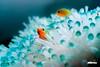 Bleached Anemone (jaytrisw) Tags: adobe aquatica lightroom guam gabgabbeach santarita seaanemone clownfish beached climatechange