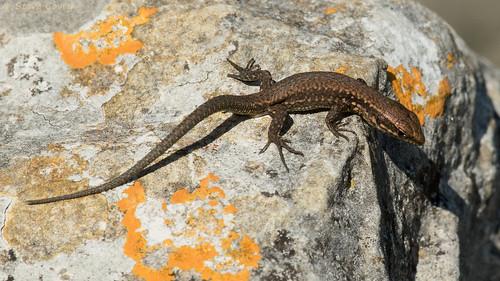 Common Wall Lizard (Podarcis muralis) juvenile.