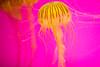 Tomorrow I'll Miss You (Thomas Hawk) Tags: america chicago cnidaria cookcounty illinois johngsheddaquarium museumcampuschicago sheddaquarium usa unitedstates unitedstatesofamerica aquarium jellies jellyfish pink fav10 fav25
