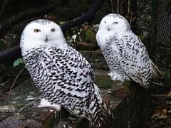 Owl-Light. Nyctea scandiaca, Snowy Owl, Amsterdam Zoo ARTIS, Amsterdam, The Netherlands (Rana Pipiens) Tags: snowyowl nycteascandiaca hearing eyesight amsterdamzooartisamsterdamthenetherlands altarwisebyowllight dylanthomas
