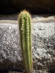 Xiquexique (KyllerCG) Tags: américadosul angiospermae angiospermas angiosperms brasil brazil cabaceiras cactaceae cariri caryophyllales dicotiledónea eukaryota lajedomanueldesousa magnoliophyta magnoliopsida paraíba pilosocereus pilosocereuspolygonus plantae southamerica cactos cactus floweringplants nature plantas plants xiquexique