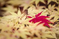 Gibbs Fall Colors (C.Fredrickson Photography) Tags: autumn november georgia color leaves yellow red 2017 leaf ©carlfredrickson2017 ga ballground fall carlfredrickson gibbsgardens unitedstates us