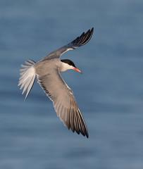 Common Tern Nickerson beach ny (mandokid1) Tags: canon 1dx ef400mmdoii birds terns nickerson